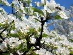 Kirschenblüte - ein Erlebnis das einem nur zum Staunen bringt!